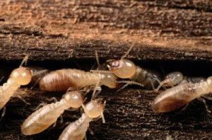 signs-of-termites-2-1