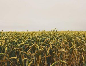 corn field image for lot land and farm listing